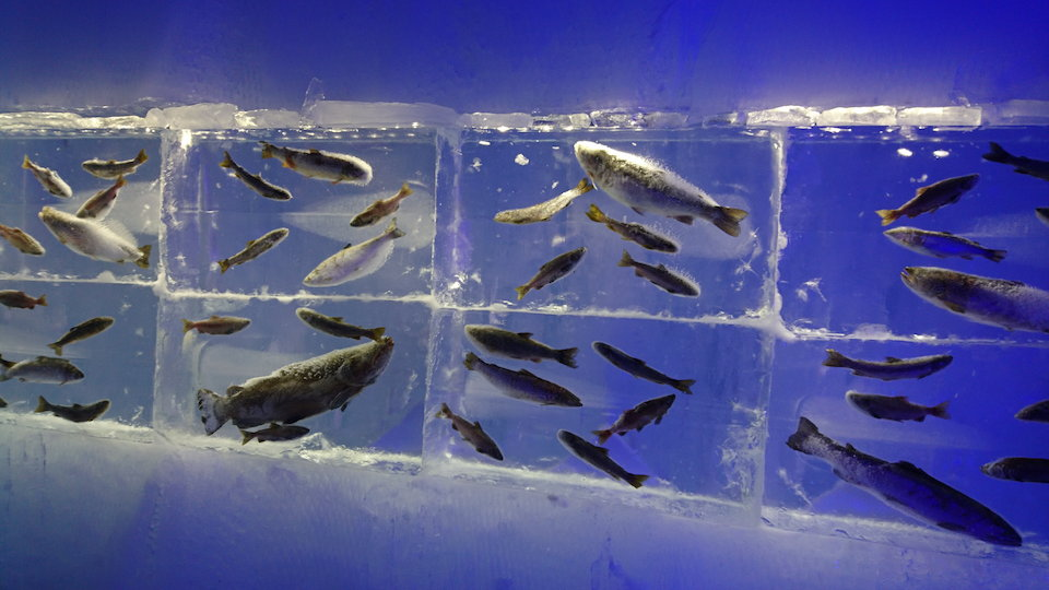 支笏湖氷濤まつり氷族館魚のアップ