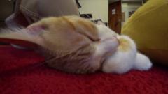 腕を枕にして寝ている猫(頭)
